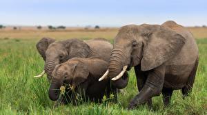 Картинка Слоны Детеныши Втроем