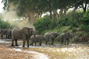 Фотографии Слоны Воде Деревья Стадо Животные