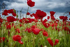 Фотография Поля Мак Крупным планом Бутон цветок