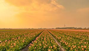 Картинки Поля Тюльпаны Много цветок