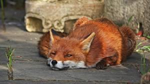 Фотографии Лисица Смотрят Лежит Животные