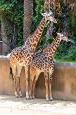 Картинка Жирафы 2 животное