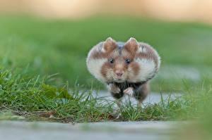 Картинка Хомяки Грызуны Бежит Прыгает животное