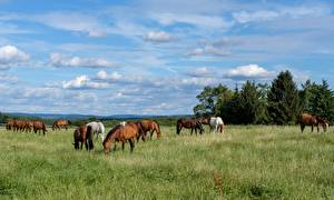 Фотография Лошади Луга Стадо Траве Животные