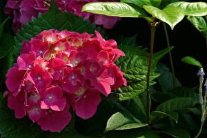 Фотографии Гортензия Крупным планом Розовая Цветы