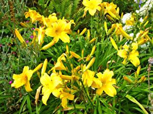Фото Лилии Бутон Желтая Цветы