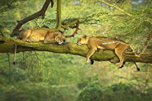 Фотографии Львы Львица Спящий Вдвоем Лежа Ветвь Животные