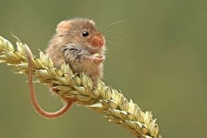 Фотография Мыши Вблизи Колоски Животные