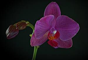 Фотографии Орхидея Вблизи На черном фоне Фиолетовый Бутон цветок