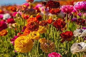 Фотографии Лютик Вблизи Разноцветные цветок