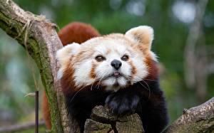 Фотографии Малая панда Морды Смотрит