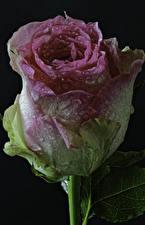 Картинка Розы Крупным планом На черном фоне Капель цветок