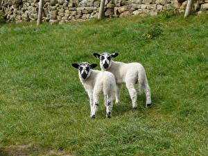Обои Овцы Детеныши Траве Вдвоем