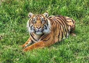 Обои Тигр Траве HDR Взгляд