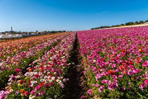 Обои Америка Поля Лютик Много Калифорния Разноцветные Цветы