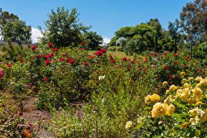 Фотография Америка Сады Роза Калифорнии Кустов South Coast Botanic Garden Природа
