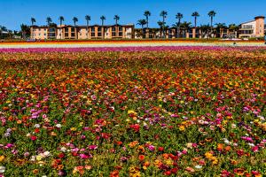 Обои США Лютик Много Калифорнии Разноцветные цветок