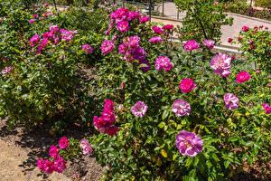Фото Штаты Розы Кусты South Coast Botanic Garden Цветы