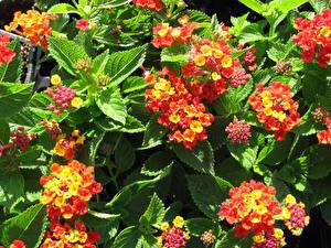 Фотографии Вербена Бутон цветок