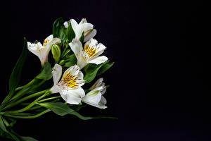 Фотография Альстрёмерия На черном фоне Белая цветок