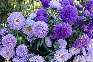 Фотография Астры Вблизи Много Фиолетовые цветок