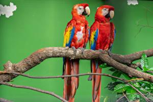 Картинка Птица Попугаи Ара (род) Два Ветвь Клюв Животные