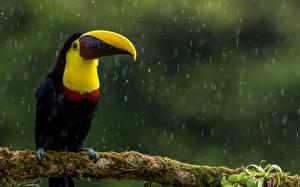 Фото Птицы Дождь Туканы Клюв Ветвь Мох животное