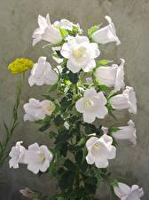 Фотография Колокольчики - Цветы Белые цветок