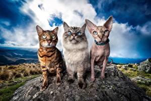 Обои для рабочего стола Кот Сфинкс кошка Бенгальская кошка Три Смотрит HDR Neva Masquerade животное