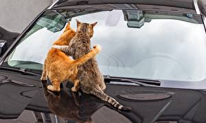 Картинка Кошки Двое Обнимаются Стекло Вид сзади Капот животное