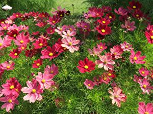 Картинки Космея Много Бордовые Цветы