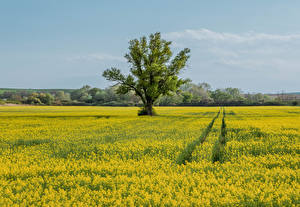 Фотографии Чехия Поля Рапс Деревьев Moravia Природа