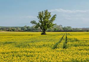 Фотографии Чехия Поля Рапс Деревьев Moravia