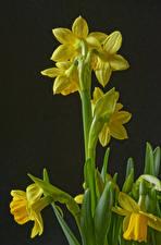 Фотографии Нарциссы Желтые цветок