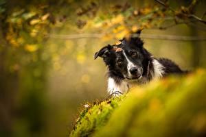 Фотографии Собаки Бордер-колли Размытый фон Животные
