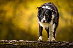 Картинки Собаки Бордер-колли Взгляд Животные