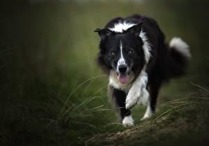 Фотография Собаки Бордер-колли Язык (анатомия) Животные