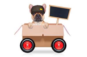 Картинка Собака Оригинальные Белым фоном Бульдог Кепке Коробке животное