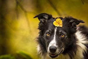Обои Собака Листья Морда Бордер-колли животное