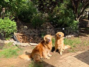 Фото Собака Золотистый ретривер Двое Животные