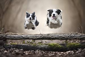 Фотографии Собаки 2 Бежит Прыгать Бордер-колли животное