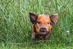 Картинки Домашняя свинья Детеныши Трава Морды