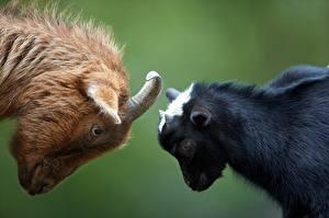 Фотография Коза козел Детеныши С рогами 2 животное