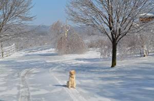 Фотография Золотистый ретривер Зима Собаки Снегу Деревья Сидящие животное