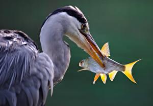 Картинка Цапли Рыбы Клюв Головы grey heron Животные