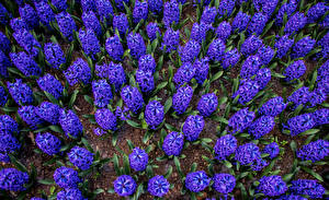 Обои Гиацинты Много Фиолетовый