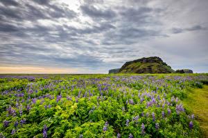 Картинка Исландия Поля Люпин Небо Природа