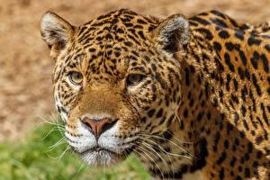 Картинка Леопард Морды Смотрит