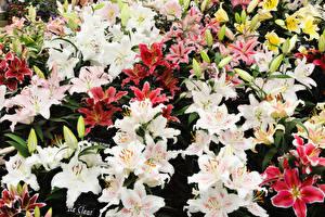 Обои Лилии Много Бутон цветок