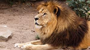 Обои Львы Взгляд Лапы Животные картинки